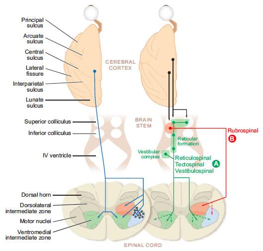Corteza y Vía Motora