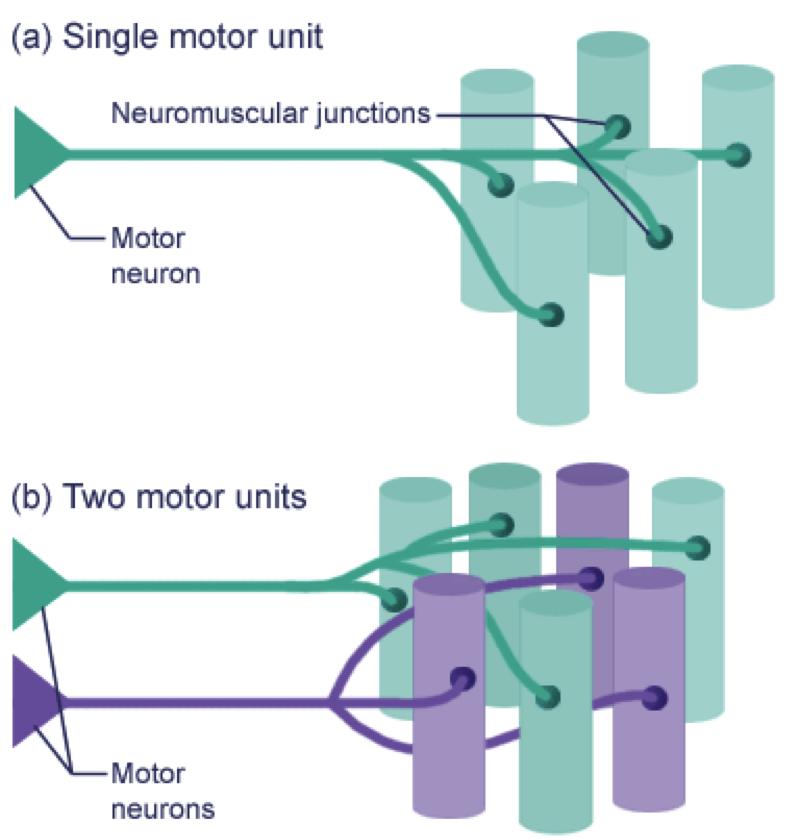 ii. morfologia del musculo esqueletico