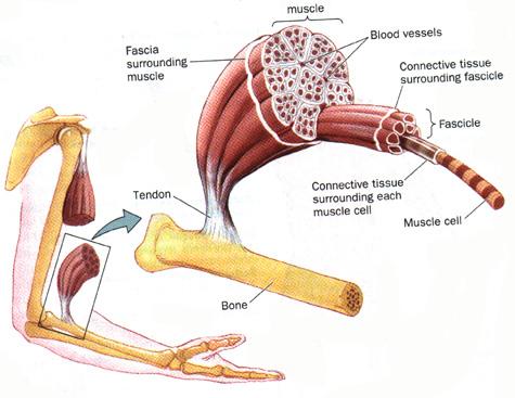 Muscle00.jpg