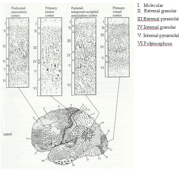 Las cisuras marcan límites en la superficie cortical y la dividen en los  cuatro grandes lóbulos que tenemos a continuación: